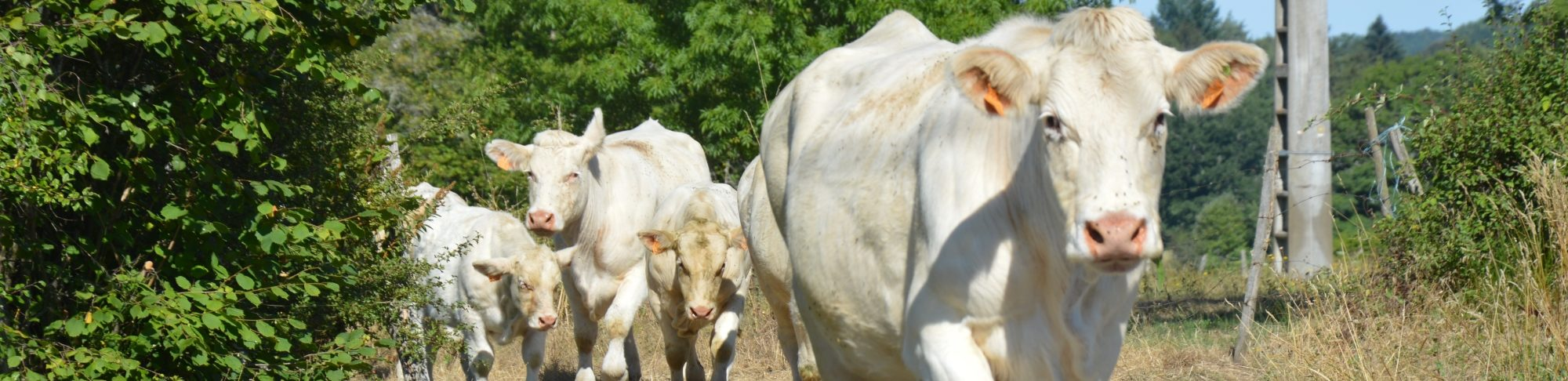 defile de vache