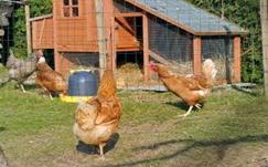 Influenza aviaire
